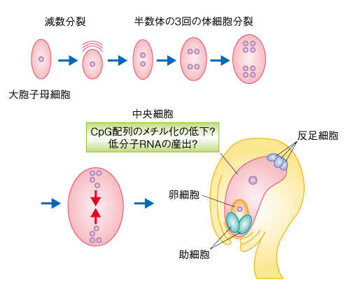 イン プリンティング ゲノム 細胞内におけるタンパク質―DNA相互作用の全体像を捉える新しい方法を開発