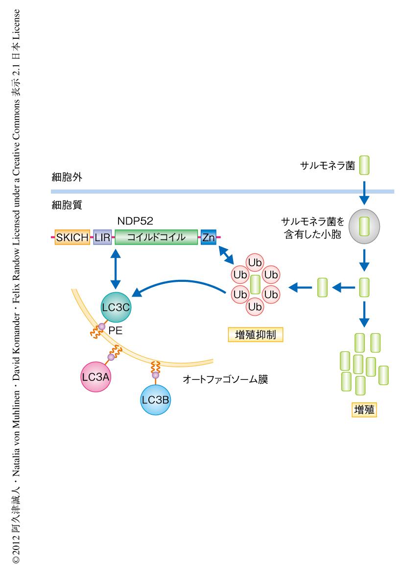 アダプタータンパク質NDP52とAtg...