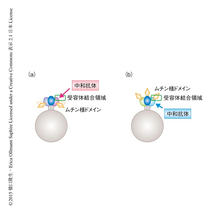 和 は と 中 抗体
