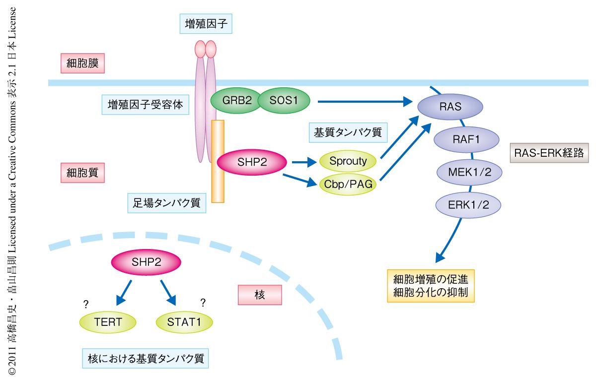 チロシンホスファターゼSHP2による核における基質タンパク質 ...