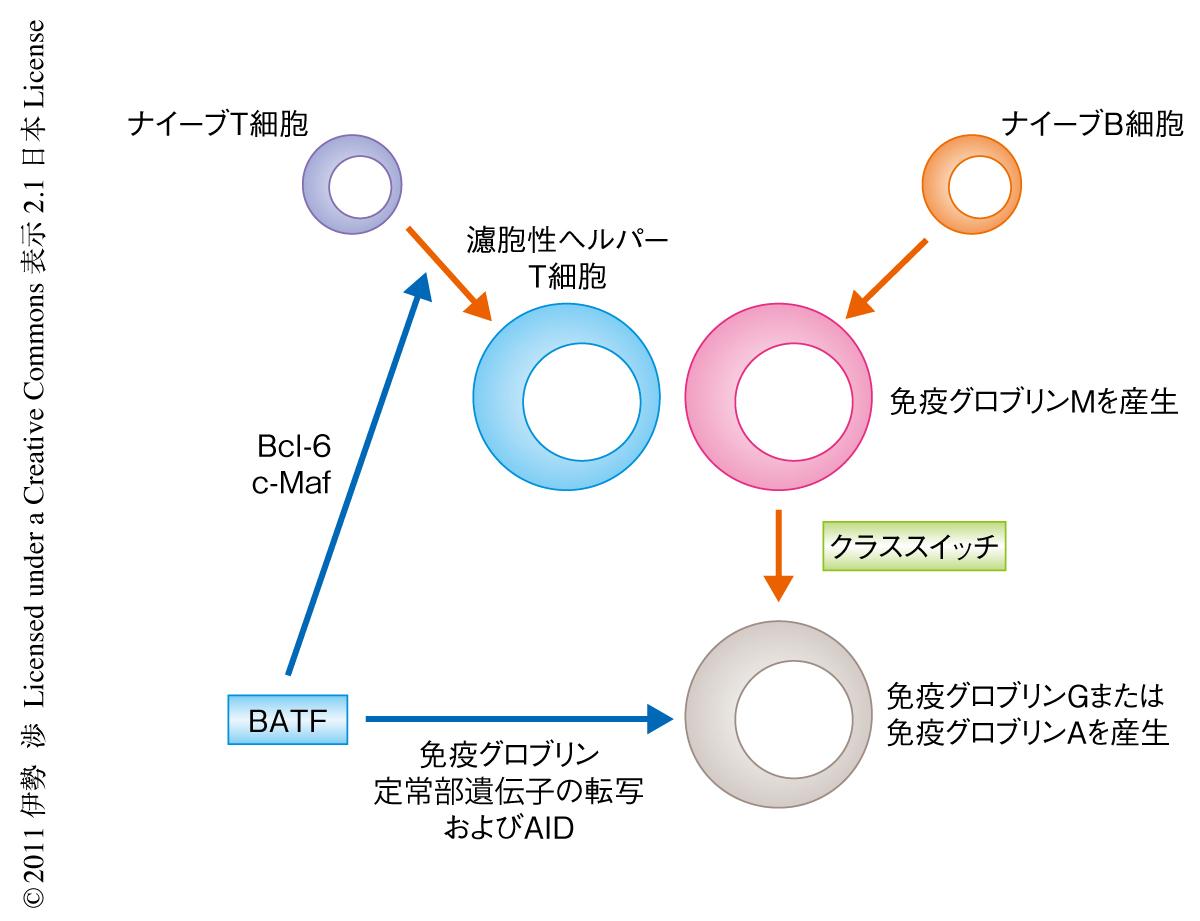 T 細胞 ヘルパー