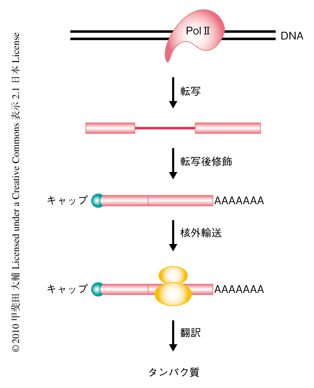 U1 SnRNPはmRNA前駆体を異常な切断とポリA化から保護する : ライフサイエンス 新着論文レビュー