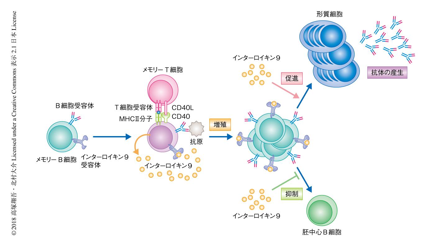 細胞 形質 形質細胞