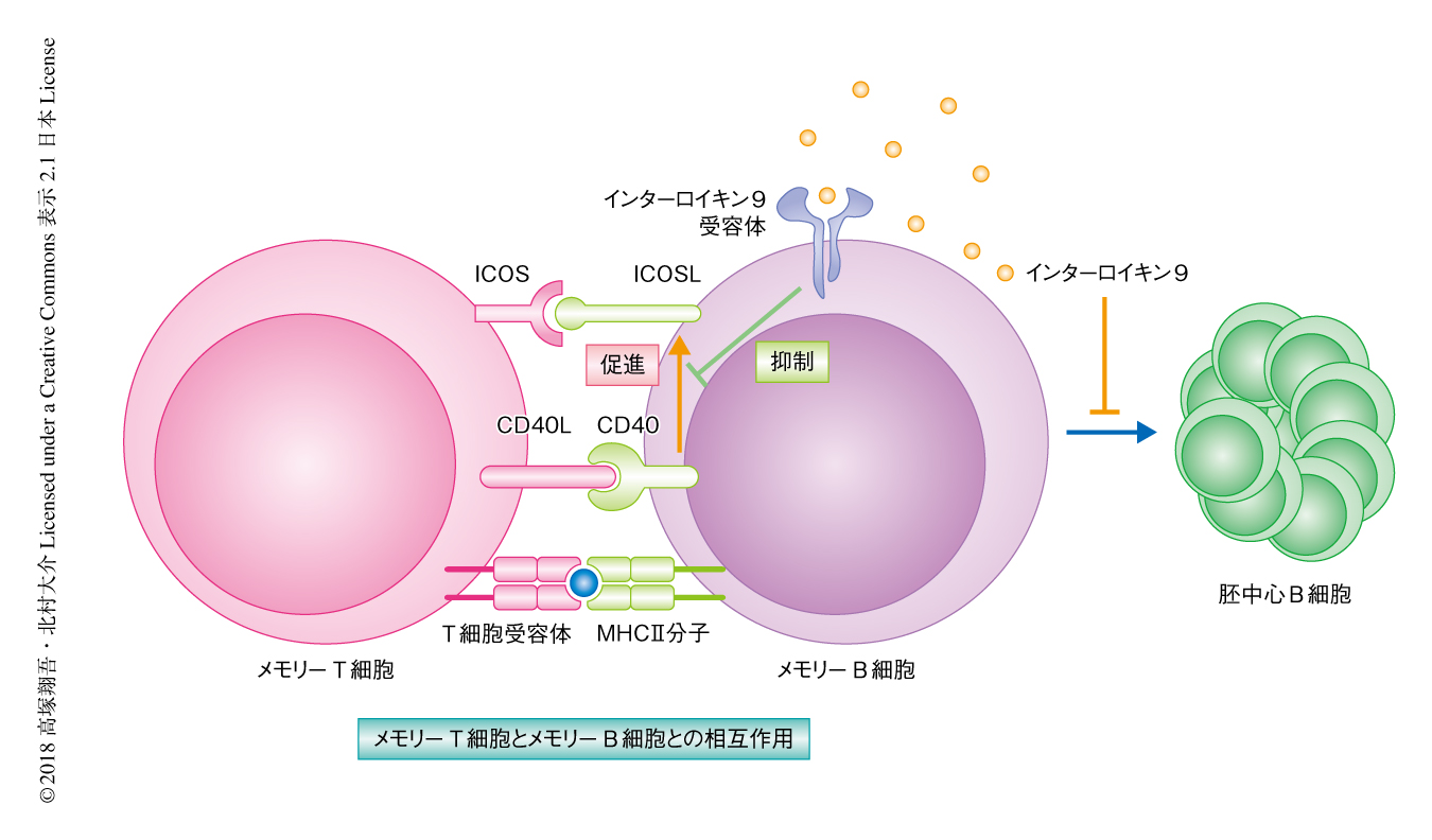 細胞 形質 形質細胞腫?それとも多発性骨髄腫?
