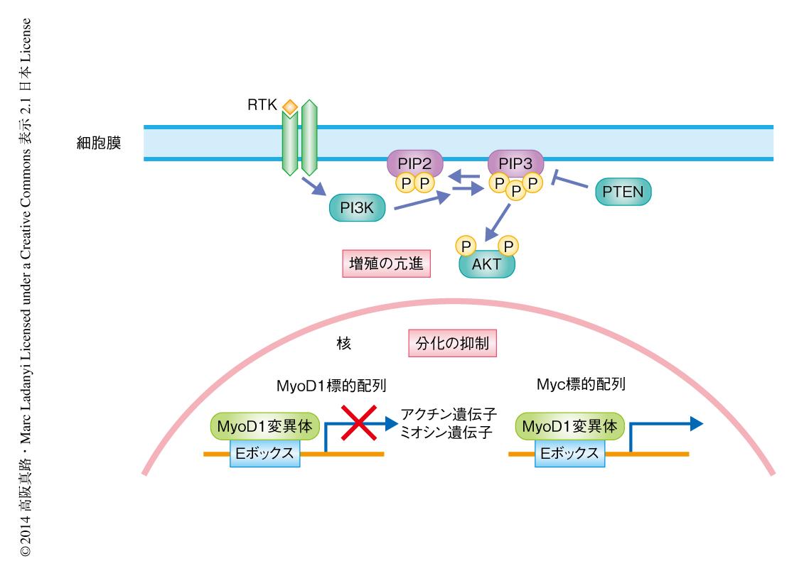 性 クロム 細胞 親和