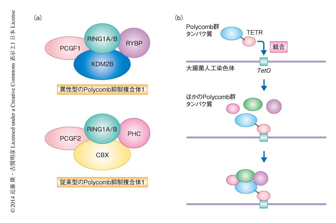 Polycomb抑制複合体2は異性型Polycomb抑制複合体1によるヒストンH2Aの ...