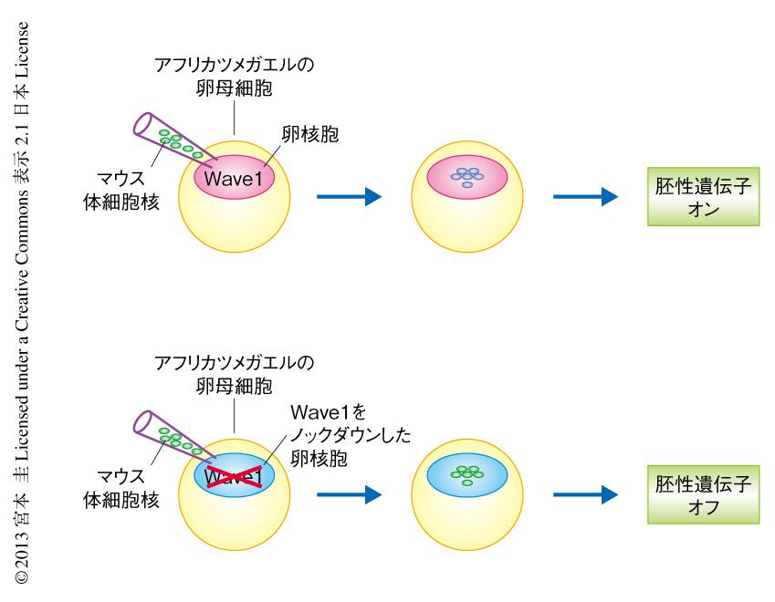 アクチン結合タンパク質Wave1は卵母細胞の核における転写プログラムの ...