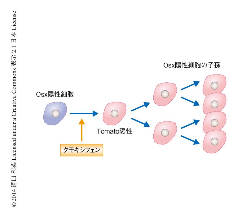 Osterix陽性細胞は発生の過程において一時的な骨髄間質細胞 ...