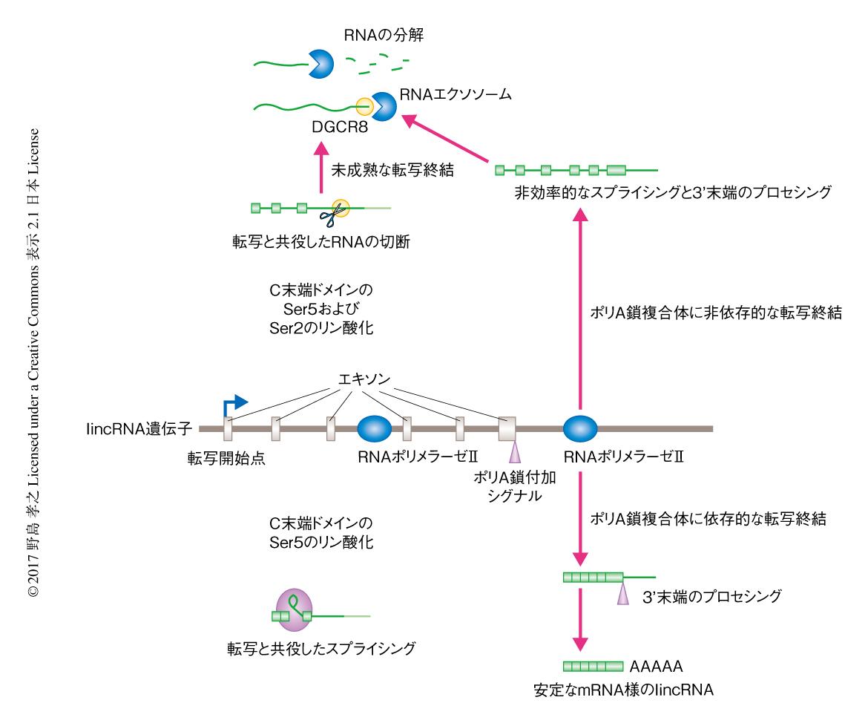 ヒトにおけるmRNA前駆体とlincRN...