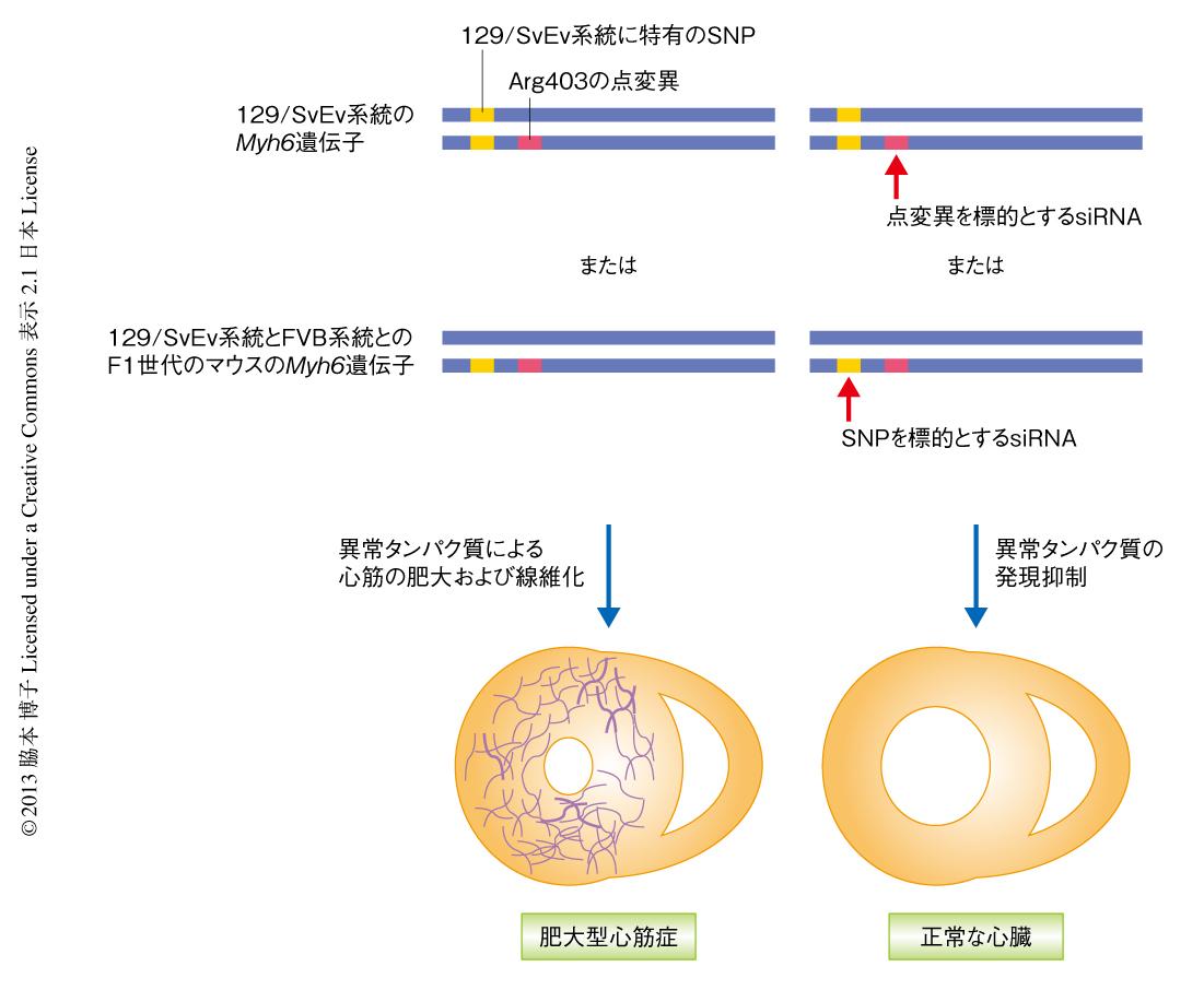siRNAを用いた変異遺伝子に特異的なノックダウンによる肥大型心筋症の ...