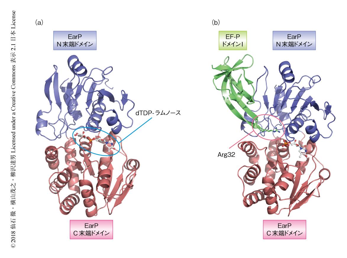 糖転移酵素EarPによる翻訳因子EF-PのArgのラムノシル化の構造的な基盤 ...