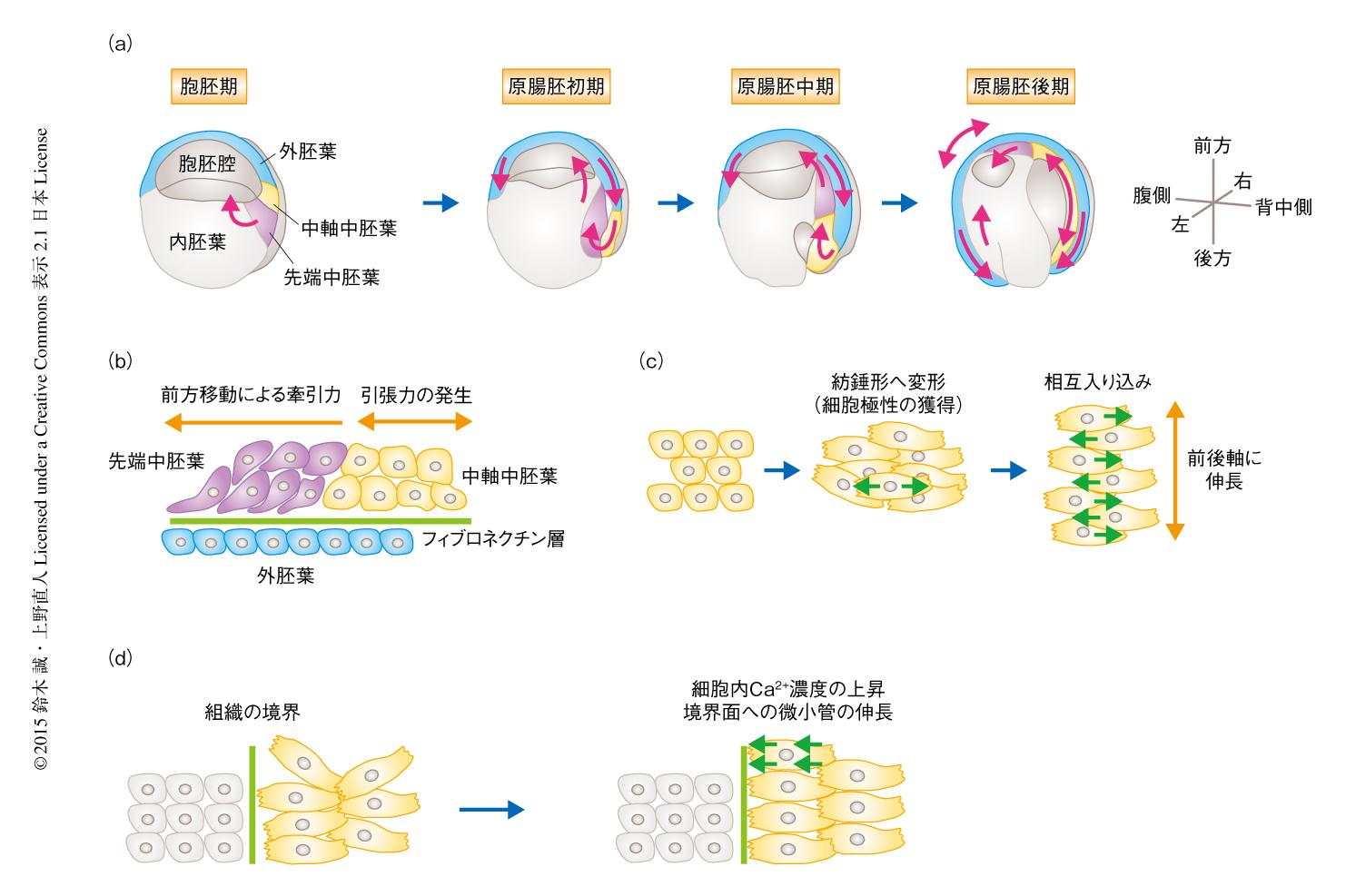 中 胚葉 胚葉 外 胚葉 内